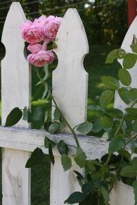 roses vagabondes tersessenta tumblr