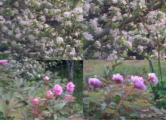 2013-04-28 fin avril, pivoines, pommier, fleurs