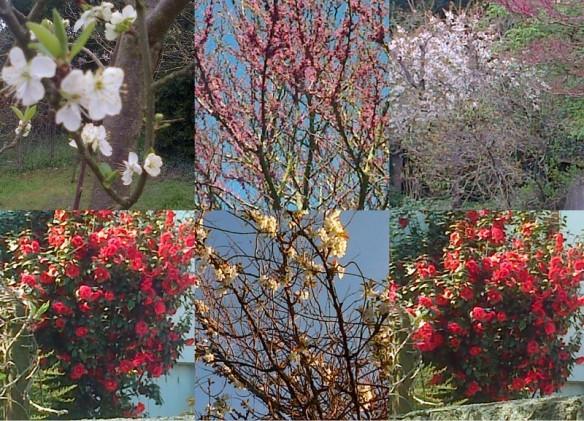 2013-04-28 fin avril, pivoines, pommier, fleurs1