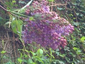 lilas au vent flou 28.04.13
