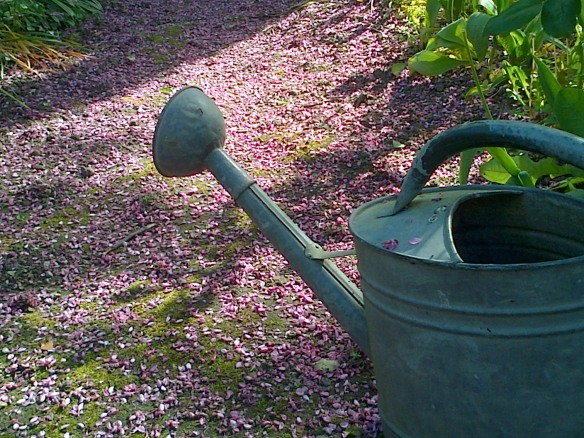 arrosoir et allée rose au matin soleil