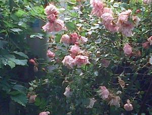 buisson de rose thé dévastées...