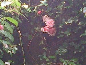 Roses thé qui essaient de survivre...