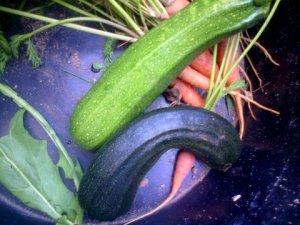 Courgettes, carottes cueillies à la fraîche ! Y'a pas qu'elles qui sont tordues, hein Mindounet ???