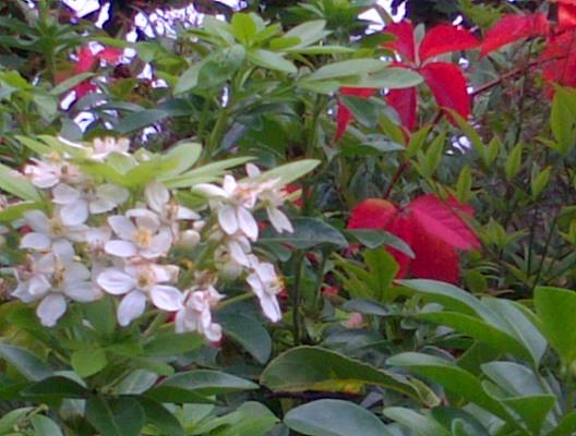 """Surprise ! un """"jasminoïde"""" qui fleurit en avril a refait des fleurs et embaume entre les branches vermillonnées..."""