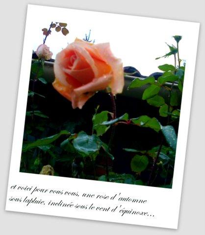 La dernière rose d'octobre, après la pluie...