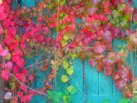 automne vigne vierge rouge(1)(1)