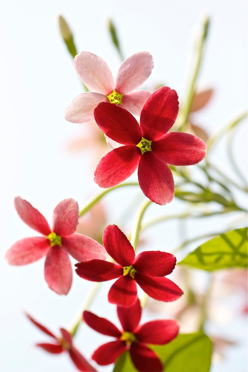 fleurs rouges infnite-paradox