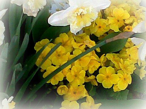 jonki-narcisses et prim jaunes(2)