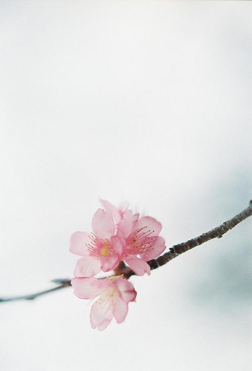 rose fleur de pêcher infinite-paradox