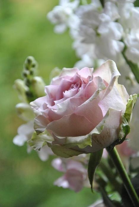rose offerte lylouanne tumblr