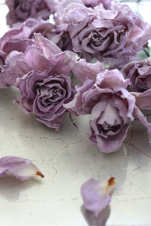 roses mauves lylou anne