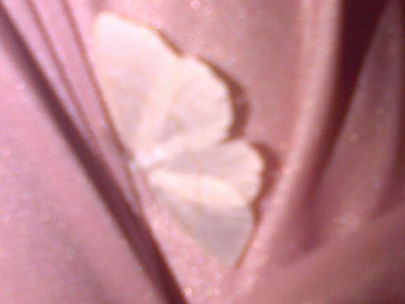 Papillonus rosus de notte de chez Asphodélia !