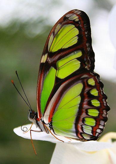 Comme la pierre du même nom (et de la même couleur) un papillon Malachite, épinglé sur Pinterest.