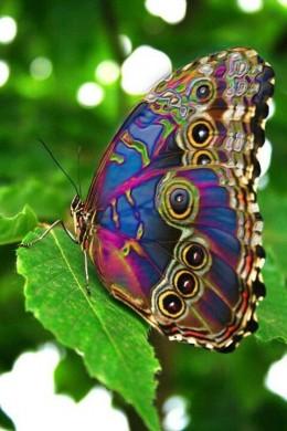 Papillon paon (chez pamela-anne)
