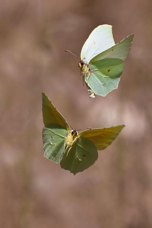 Papillons Cléôpatra en vol...