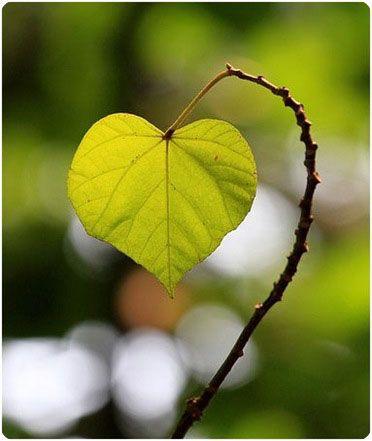 coeur en feuille