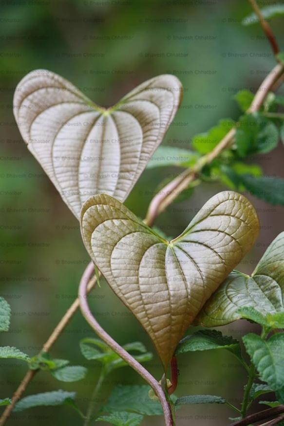 coeurs végétaux