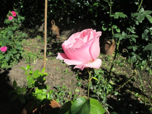 rose rose mi ouverte juin 07-06-2014 18-22-58 4608x3456