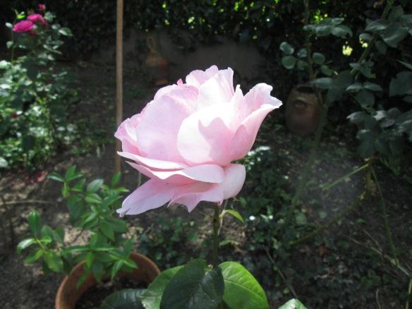 rose rose pâle de côté
