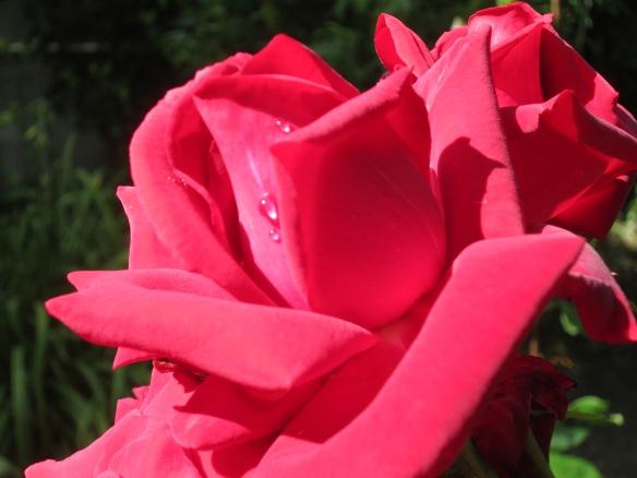 Rose rouge après la pluie juin 2014