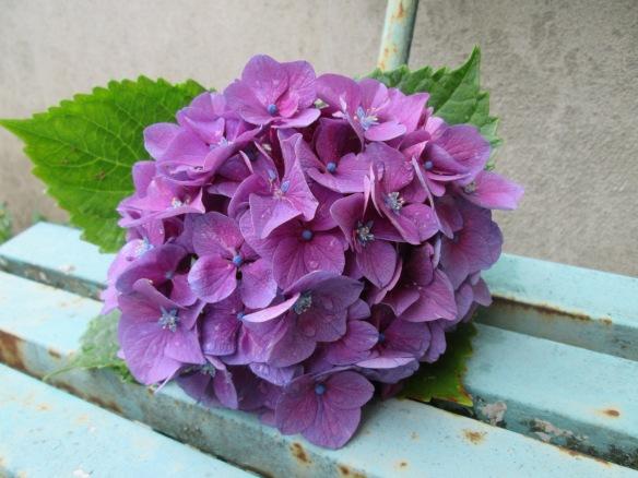 hortensia mauve sur vieux banc turquoise