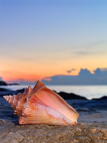 coquillage conque sur la plage