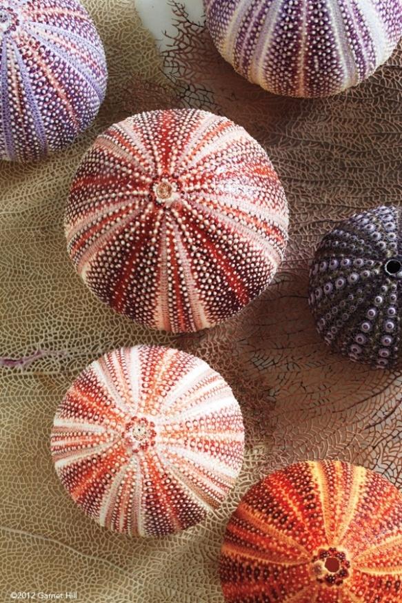 coquillage oursins de toutes les couleurs