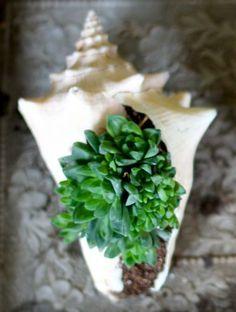 coquillage pour y planter des semis