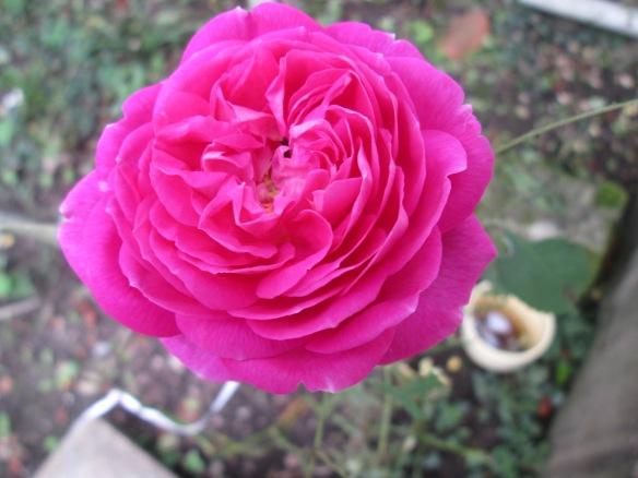 Les roses refleurissent au jardin... Incroyable, quand je vous dis qu'il n'y a plus de saison !