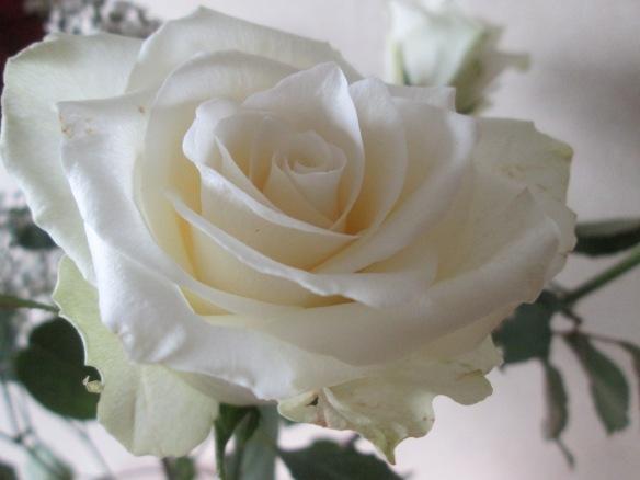 Une des roses du bouquet offert à l'hôpital...