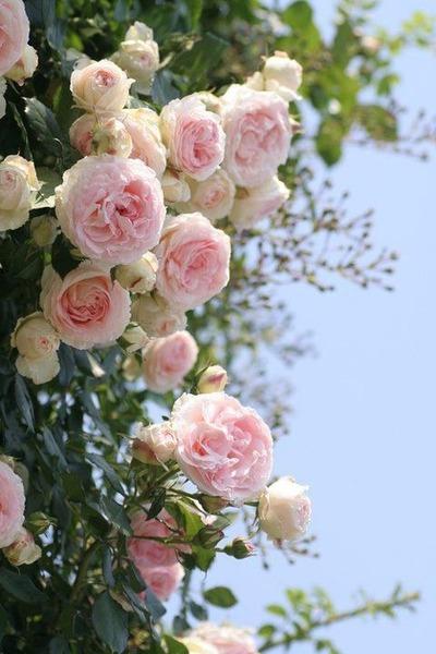 rose roses en arche p de ronsard improbable tumb