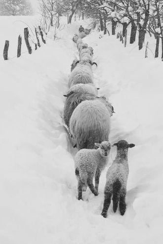 a maeterlinck agneaux neige
