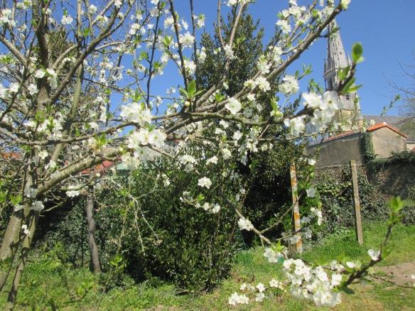 Un prunier qui a poussé tout seul, il donne des fruits depuis deux ans, des reines-claude, vu les fleurs serrées, nous ferons de la confiture cet été...