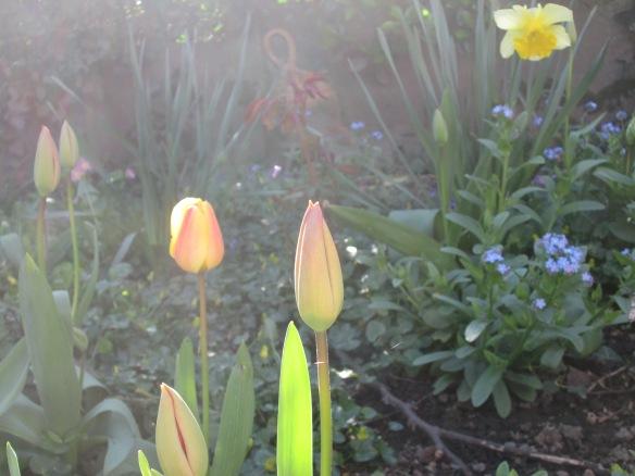 tulipe jaune et autre du 6 avril 2015