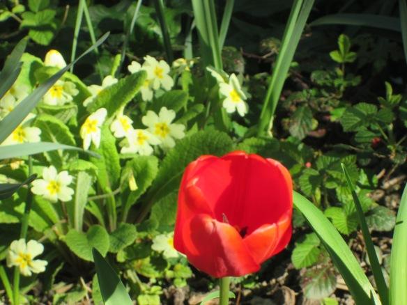 tulipe rouge du 6 avril 2015