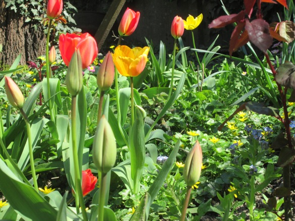 Pas de doute, les tulipes s'en donnent à coeur joie sous le soleil et la tiédeur revenue...