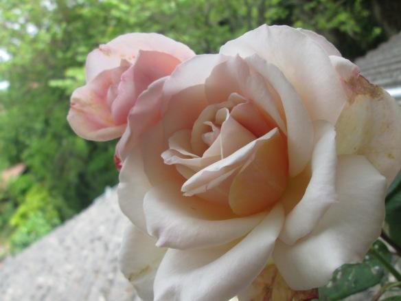Les premières roses thé du jardin voisin (j'attends toujours les miennes !)