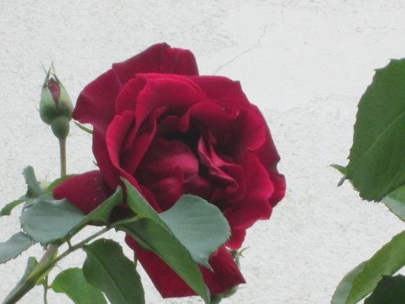 Les roses anciennes et odorantes ont refleuri au jardin de ma tante...