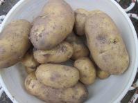 Pommes de terre du jardin, ramassées hier (pas par moi !).