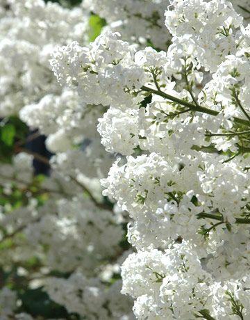 lilas blanc plus abondant cette année !