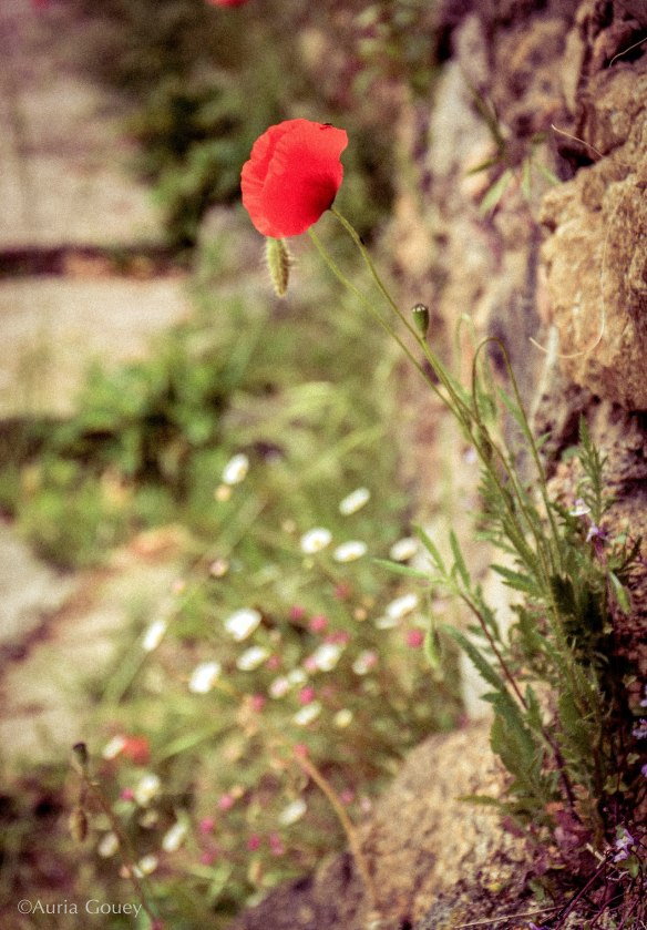 coquelicot esseulé mlle-yaya tumblr