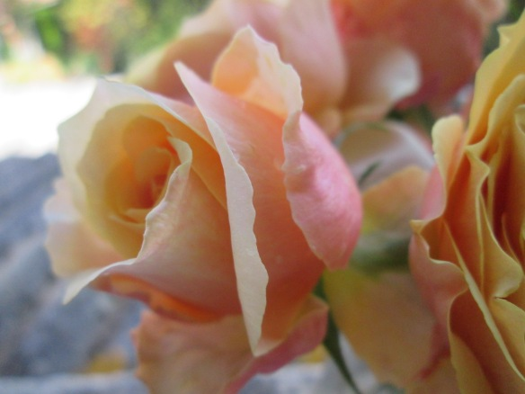"""Je ne m'en lasse pas de ces roses d'octobre devenues """"novembriennes"""" pour reprendre une expression de Martine et Jacou ! ^-^"""