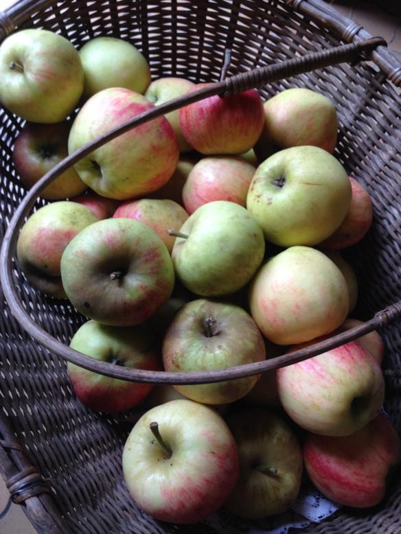 Pommes du jardin, dont je ne connais pas le nom mais variété ancienne très goûteuse et sucrée. Elles ont mûri depuis la photo : il faut les cueillir un peu vertes car elles ne reçoivent aucun traitement depuis 20 ans et pourrissent très vite sur l'arbre mais tout a un prix !